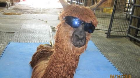 Financial Justification to Raising Suri Alpacas